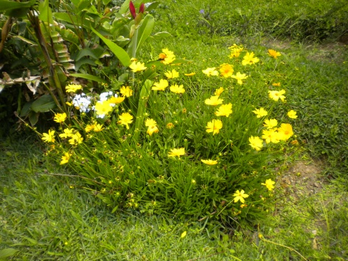 Yellow Flowers in our old yard in Boquete, Panama.
